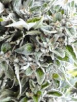Medicann Seeds - OG Kush Regular Cannabis Seeds