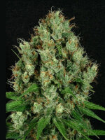 Apothecary Genetics - Mendo Diesel Regular Cannabis Seeds 10 Pack