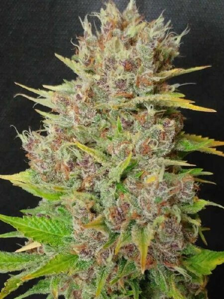 Ultra Genetics - Mendo Grape Widow Feminised Cannabis Seeds