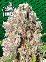 Paradise Seeds Chong's Choice Line - Mendocino Skunk (Hybrid) Feminised Cannabis Seeds