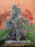 Ministry of Cannabis - Auto Blue Amnesia Feminised Autoflowering Cannabis Seeds