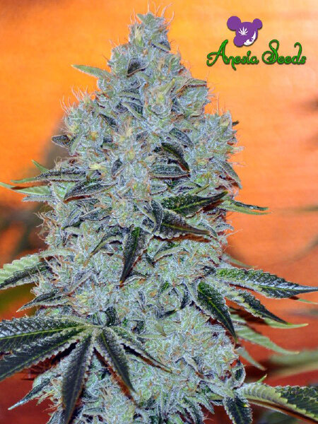 Anesia Seeds - Mob Boss Feminised Cannabis Seeds