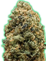 Monster Genetics - Monster Bruce Banner Feminised Cannabis Seeds