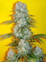 Mosca Seeds - Blue Fin Regular Cannabis Seeds