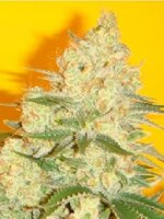 Mosca Seeds - Blue Iguana Regular Cannabis Seeds