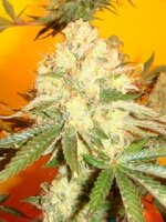 Mosca Seeds - Chem #4 x OTM #1 - Regular Cannabis Seeds