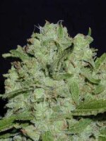 Mosca Seeds - Cinderella 99 BX-1 - Regular Cannabis Seeds