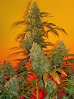 Mosca Seeds - Old Time Bubba Kush Regular Cannabis Seeds