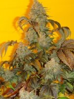 Mosca Seeds - Old Time Indiana Bubble Gum Regular Cannabis Seeds