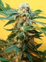 Mosca Seeds - Sonic Fly - Regular Cannabis Seeds