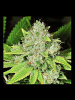 Nirvana - Original Glue Feminised Cannabis Seeds