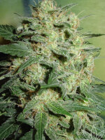 Homegrown Fantaseeds - Northern Lights Feminised Cannabis Seeds