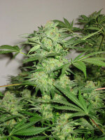 Nirvana - Northern Lights Regular Cannabis Seeds