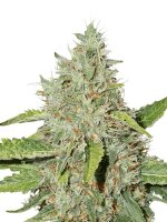Seed Stockers - Northern Lights Auto - Feminised Autoflowering Cannabis Seeds