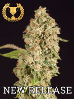 Devil's Harvest Seeds - OG Reekn Feminised Cannabis Seeds