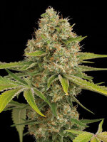 Feminised Seeds Company - OG Kush Feminised Cannabis Seeds