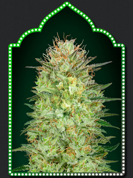 00 Seed Bank - Auto Sweet Critical Feminised Autoflowering Cannabis Seeds