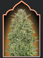 00 Seed Bank - 00 Skunk Feminised Cannabis Seeds