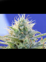 Original Sensible Seed Company - Auto Ghost OG Feminised Cannabis Seeds