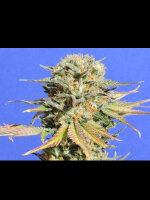 Original Sensible Seed Company - Bruce Banner #3 Single Feminised Cannabis Seeds
