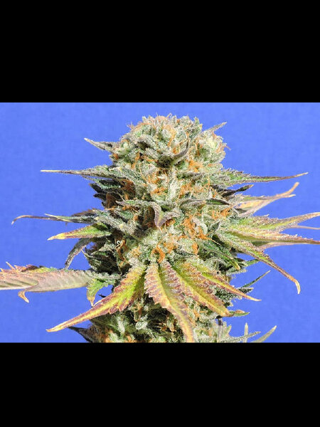 Original Sensible Seed Company - Bruce Banner #3 Feminised Cannabis Seeds