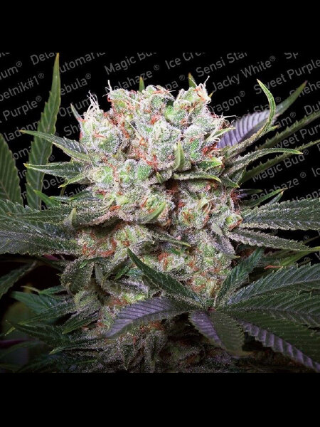 Paradise Seeds - Californian Gold Feminised Cannabis Seeds