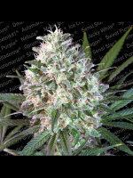 Paradise Seeds - Space Cookies Feminised Cannabis Seeds