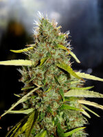 CBD Crew - CBD PH 5 Regular Cannabis Seeds
