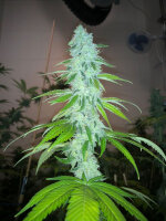 PhenoFinder Seeds - Simple Wedding Cake S1 Feminised Cannabis Seeds