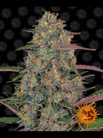 Barneys Farm - Pineapple Chunk Feminised Single Cannabis Seed