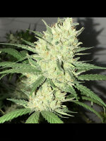 Pot Valley Seeds - Orange Snap Regular Cannabis Seeds