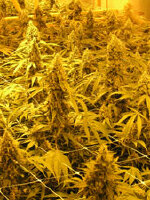 Nirvana - Pure Power Plant Regular Cannabis Seeds