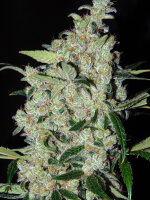 Cannabiogen - Purple Mexican Feminised Cannabis Seeds