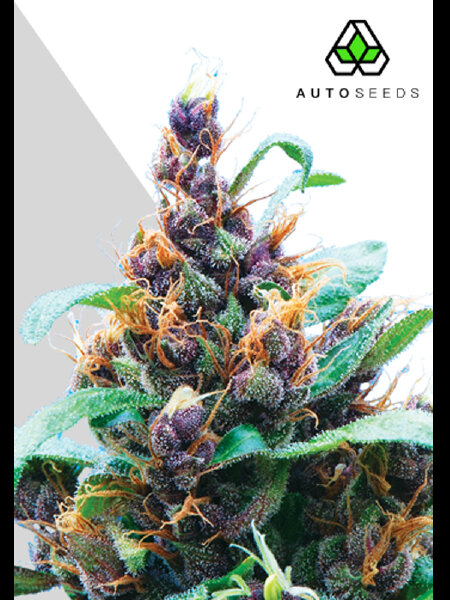 Auto Seeds - Purple Stilton Feminised Autoflowering Cannabis Seeds