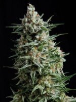 Pyramid Seeds - Auto Anesthesia Single Feminised Autoflowering Cannabis Seeds