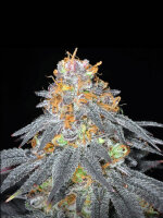 Haute Genetique - Raspberry Cookies 10 Regular Cannabis Seeds