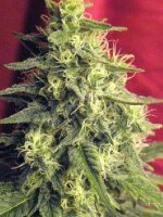 Reggae Seeds - Blackdance Feminised Cannabis Seeds