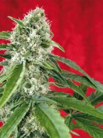 Reggae Seeds - Dub Regular Cannabis Seeds