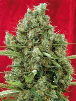 Reggae Seeds - Session Regular Cannabis Seeds