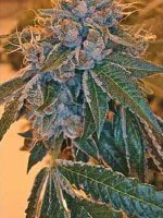 Reserva Privada - Kosher Kush Feminised Cannabis Seeds