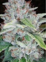 Reserva Privada - Skywalker OG Kush Single Feminised Cannabis Seeds