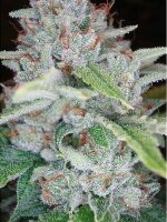 Reserva Privada - Skywalker OG Kush Feminised Cannabis Seeds