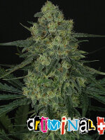 Ripper Seeds - Criminal + Feminised Cannabis Seeds