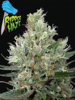 Ripper Seeds - Ripper Haze Feminised Cannabis Seeds