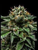 Ripper Seeds - Chempie Feminised Cannabis Seeds