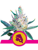 Royal Queen Seeds - Royal Cheese Fast V Feminised Cannabis Seeds