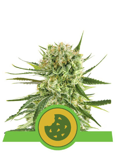 Royal Queen Seeds - Royal Cookies Auto Feminised Autoflowering Cannabis Seeds