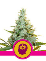 Royal Queen Seeds - AMG (Amnesia Mac Ganja) Feminised Cannabis Seeds