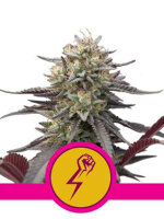 Royal Queen Seeds - Green Punch Feminised Cannabis Seeds