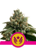Royal Queen Seeds - Legendary Punch Feminised Cannabis Seeds